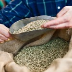 Checking Green Coffee Beans