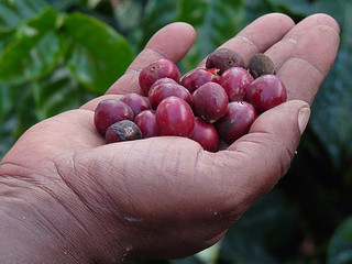 Harvesting Coffee Beans by Hand