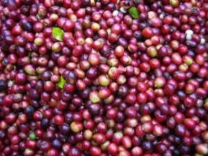 Coffee beans after the harvest