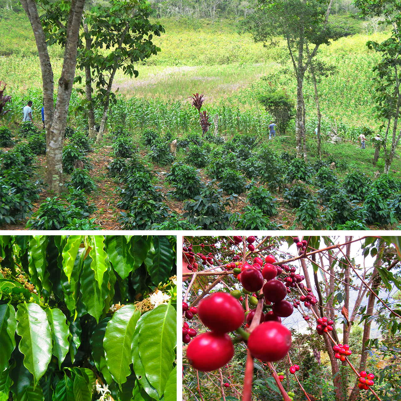 Chiapas Coffee Growing - Trees Organic Coffee