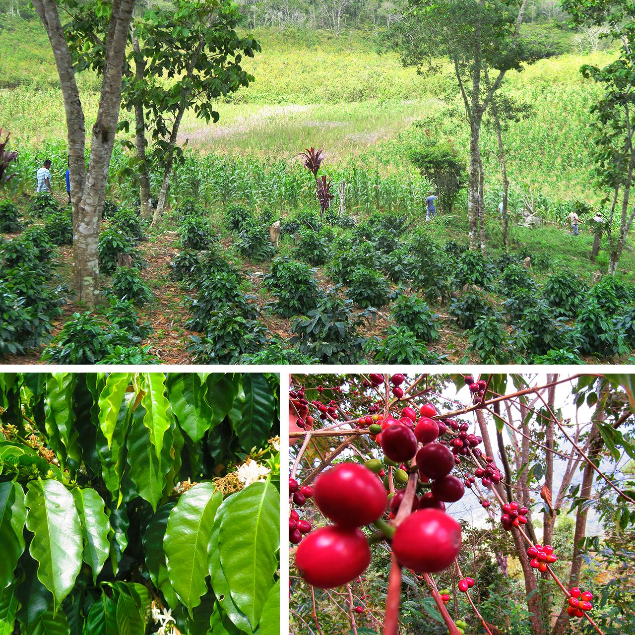 Chiapas Coffee Growing - Trees Organic Coffee